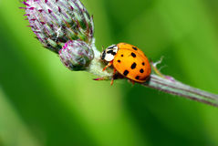 Ladybug on thistle. Stock Photos