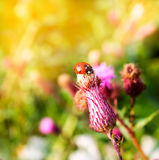 Ladybug on a thistle flower in summer Stock Images