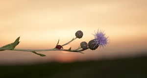 Ladybug and thistle Stock Image