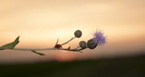 Ladybug and thistle stock image