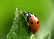 Ladybug on top royalty free stock image