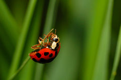 Ladybug almost at the top. A macro of a ladybug climbing to the top of a piece of tall grass Stock Photos