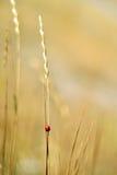 Ladybug . Stock Image