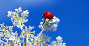 Ladybug on top of a blossom. A ladybug on top of a white blossom in front of a blue summer sky Royalty Free Stock Photography