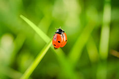 Ladybug on top of the grass stem Royalty Free Stock Image