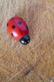 Ladybug toy Royalty Free Stock Photography