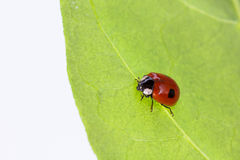 Ladybug with two dots sitting on a leaf Stock Photos