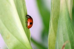 Ladybug with two dots sitting on a leaf Royalty Free Stock Image