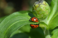 Ladybug4. Two ladybugs vice versa to each other royalty free stock image