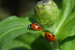 Ladybug5. Two ladybugs vice versa to each other Royalty Free Stock Photos