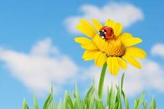 Ladybug in un fiore Fotografia Stock