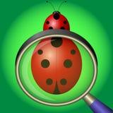Ladybug under magnifying glass on green background royalty free illustration