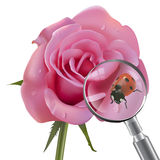 Ladybug is under the magnifying glass on rose Royalty Free Stock Photos