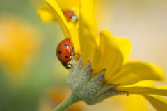 Ladybug upside down. The flower in my garden Royalty Free Stock Photo