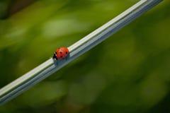 Ladybug on Vine Royalty Free Stock Images