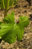 Ladybug and vine leaf Stock Images