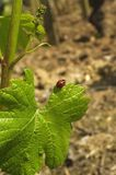 Ladybug and vine leaf stock photo