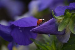 Ladybug on a purple flower royalty free stock photos