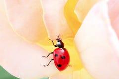 Ladybug vivo no movimento em uma rosa Imagem de Stock