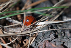 Ladybug on a walk. Close-up of a red little ladybug going out for a walk Stock Images