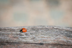 Ladybug walking along weathered old wooden board Stock Images