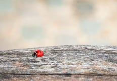 Ladybug walking along weathered old wooden board Stock Image