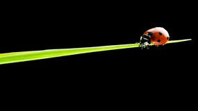 Ladybug walking on a blade of green grass Royalty Free Stock Image