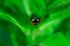 Ladybug walking on a leaf, royalty free stock photos