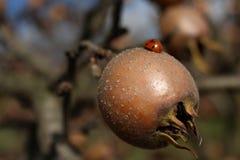 Ladybug walking on meddler Stock Image