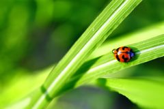 Ladybug walking up on the grass with drops. stock photography