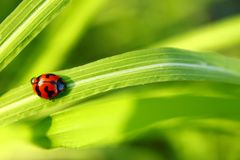Ladybug walking up on the grass with drops. stock photo