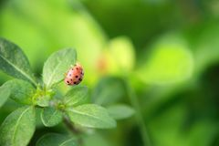 Ladybug walking up on the grass with drops. royalty free stock photos