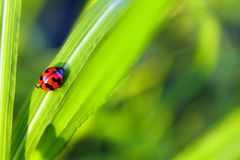 Ladybug walking up on the grass with drops. royalty free stock photography