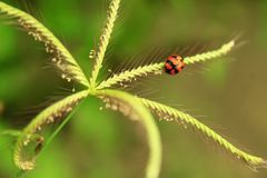 Ladybug walking up on the grass with drops. royalty free stock images