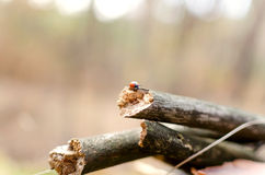 Ladybug walking on wooden branches Stock Images