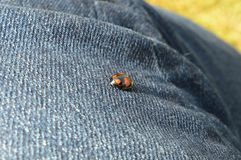 Ladybug walks on denim Royalty Free Stock Image