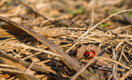 Ladybug warming in the sun Stock Image