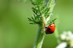Ladybug Water Drop 02 royalty free stock images