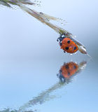 Ladybug with water drop in nature with reflection Stock Image