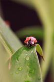 Ladybug with water drops sitting on a leaf Royalty Free Stock Photos