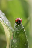 Ladybug with water drops sitting on a leaf Stock Photos