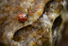 Ladybug in water on rocks stock image