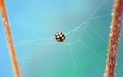 Ladybug in web
