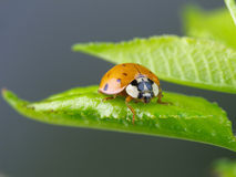 Ladybug on wet green leaf. Stock Photos