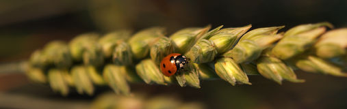Ladybug on Wheat Stock Image