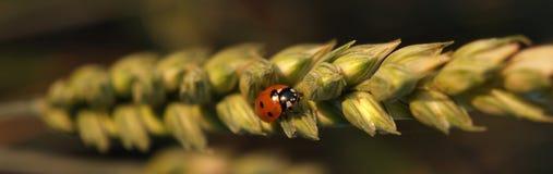 Ladybug on Wheat. Early summer wheat with ladybug at sunrise stock image