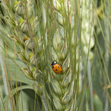 Ladybug on wheat Royalty Free Stock Image