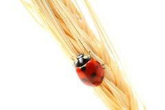 Ladybug on wheat royalty free stock photography