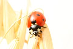 Ladybug on wheat Stock Photo