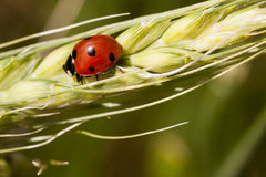 Ladybug on wheat ear Royalty Free Stock Image